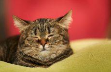 Чим краще годувати кастрованого кота в домашніх умовах