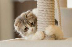 Як успішно привчити до когтеточке дорослого кота і кошеня