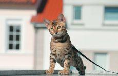 Як вибрати і правильно використовувати шлейку для кішки