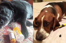 Як викликати блювоту у собаки, щенята: ліки, засоби