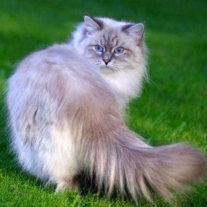 Характер і зовнішній вигляд невської маскарадної кішки
