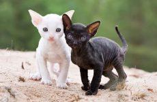 Характеристика кучерявого кішок породи корніш рекс