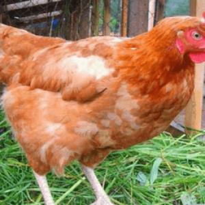 Отруєння куркою: симптоми і ознаки, перша допомога – лікування