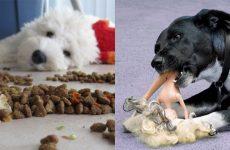 Блювота у собак і цуценят: що дати, що робити вдома