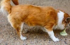 Блювота у собаки жовтого, зеленого, коричневого кольору