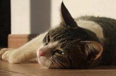 У кішки блювотні позиви без блювоти, чому відбувається, як допомогти