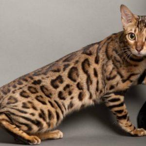 Зовнішній вигляд і характер кішок породи ашера