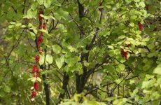 Лимонник рецепт з насіння і листя для тиску, застосування настоянки з плодів родіоли для чоловіків, лікувальні властивості далекосхідного китайського квітки, користь і шкода