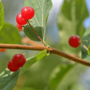 Отруєння вовчою ягодою: симптоми, перша допомога і лікування