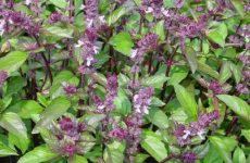 Насіння базиліка фіолетового куди додають, масло з зеленого в домашніх умовах, корисні властивості та протипоказання рослини, овочевий салат зі свіжими листям