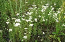 Деревій корисні властивості і протипоказання дітям, застосування відвару з квіток рослини з пижмою і полином, рецепт бальзаму з насіння зі звіробоєм, збір трав