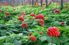 Женьшень інструкція по застосуванню для чоловіків і жінок, корисні властивості та протипоказання корейського кореня, настоянка з насіння сибірського червоного рослини, чай і капсули
