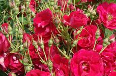 Аделаїда Худлесс троянда — опис, живцювання і правила догляду
