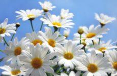Алергія на ромашку – симптоми і лікування
