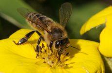 Алергія на укуси бджіл – симптоми, лікування, перша допомога