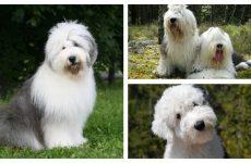 Англійська бобтейл собака – характеристика та загальні відомості.