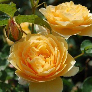 Чайна троянда — кращі сорти, посадка й догляд, профілактика хвороб