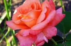 Чим відрізняється флорибунда від чайно-гібридної троянди, опис сорту