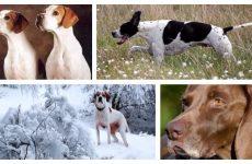 Що являє порода собак Пойнтер? Хвороби, характерні для цієї породи.