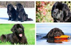 Що за порода собаки – водолаз? Походження та особливості