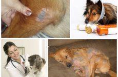 Демодекоз у собак – наскільки небезпечне захворювання і які несе наслідки при неправильному лікуванні