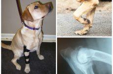 Дисплазія у собак: симптоми, лікування та профілактика