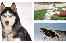 Ефективна дресирування хаскі – основа виховання собаки цієї породи