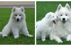 Енергійна та дружелюбна самоїдська собака: рекомндации