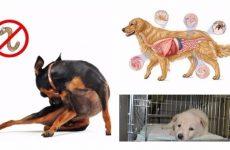 Глистні інвазії у собак – профілактика та лікування цієї недуги.