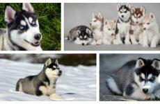Блакитноокі нащадки вовків – хаскі щенята: характеристика