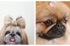 Горда і велелюбна собака пекінес: характеристика