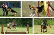 Як правильно організувати дресирування собак що потрібно знати