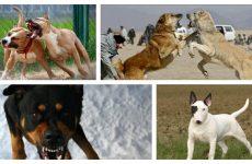 Які бійцівські собаки найбільш популярні і їх відмінність