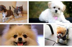 Які бувають маленькі породи собак: чарівні малюки
