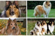 Характеристика собак породи коллі: утримання та догляд