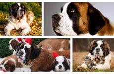 Характеристики собаки сенбернар: Зовнішній вигляд, догляд та утримання.