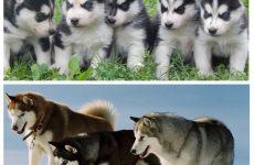Клички для собак хлопчиків лайки: як вибрати, приклади.