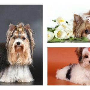 Королева собачок – бівер йорка: Зовнішній вигляд, зміст і догляд.