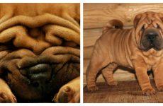 Лизнувшая небо собака шарпей: характеристика та поради