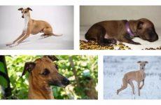 Мініатюрна собака левретка: зовнішній вигляд і характеристика