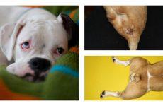 Очищення параанальних залоз у собак – лікування запального процесу.