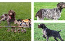 Опис собак породи дратхаар: Зовнішній вигляд, зміст і догляд.