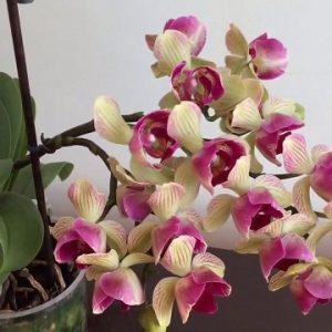 Орхідея Пелорик — що це таке, якими особливостями володіє