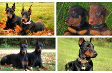 Основні характеристики собаки доберман: умови утримання