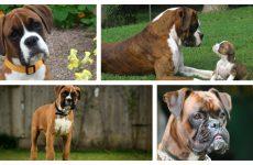 Особливості догляду за собаками породи боксер рекомендації