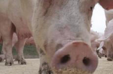 Отруєння свиней щурячою отрутою: симптоми і лікування