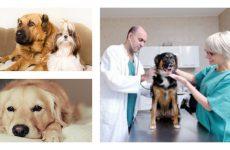 Плюси і мінуси кастрації собак і стерилізація собак.