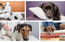 Чому виникає і як лікується пронос у собаки: причини і лікування