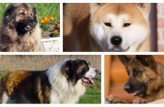Відповідна собака для охорони приватного будинку: поради знавців.