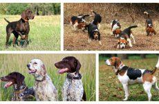 Популярні мисливські собаки і як вибрати вихованця